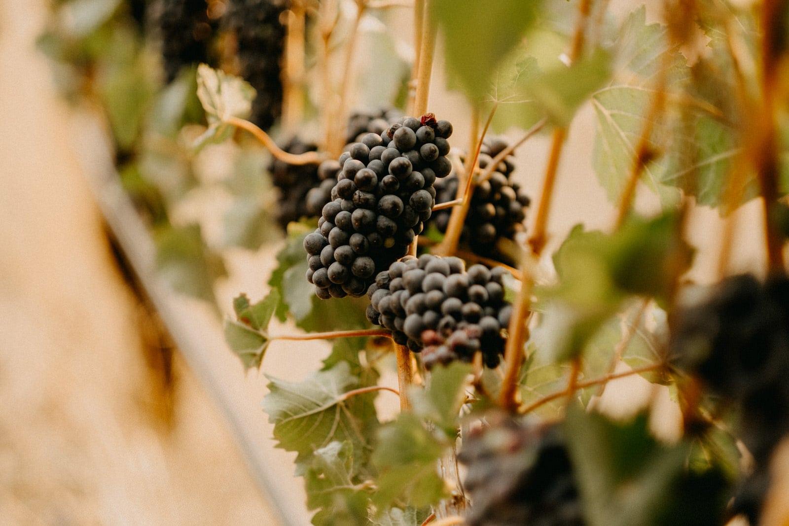 coppola family vineyard in oregon